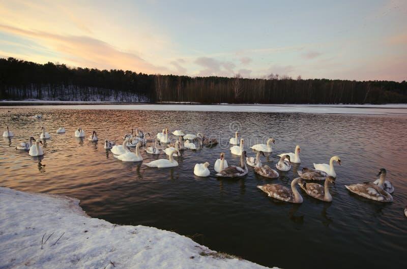 Les cygnes nagent et vivent pendant l'hiver photographie stock libre de droits