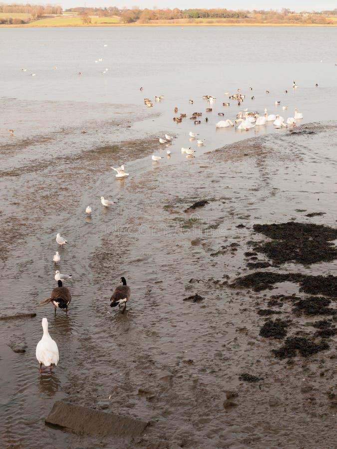les cygnes, oies, oiseaux, penche des animaux de bord de la mer que la marée marchent le landsc image stock