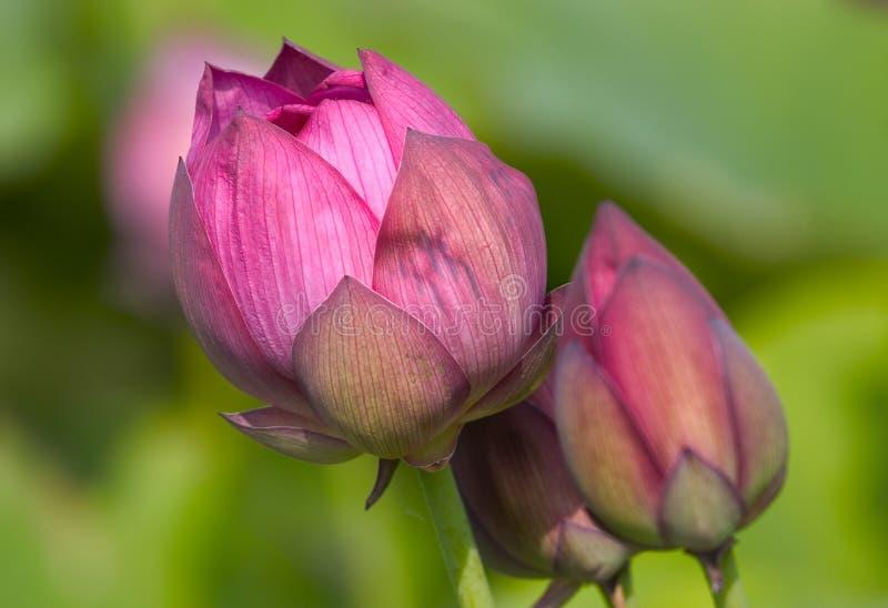 Les débuts grands (bourgeons roses de lotus) image stock
