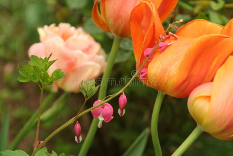 Les défenseurs de la veuve et de l'orphelin se mélangent avec les tulipes en retard dans un jardin de ressort photo stock