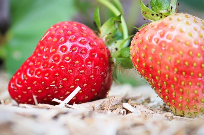 Les détails fins de l'stawberries sur le paillis jaune photo stock