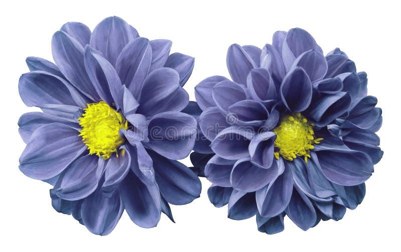 les dahlias Bleu-violets de fleurs sur le blanc ont isolé le fond avec le chemin de coupure Aucune ombres closeup images stock
