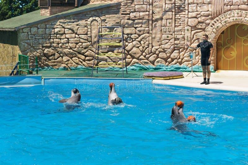Les dauphins de Bottlenose sont de grands dauphins, ou lat de dauphins de bottlenose Truncatus de Tursiops avec des boules sur la image libre de droits