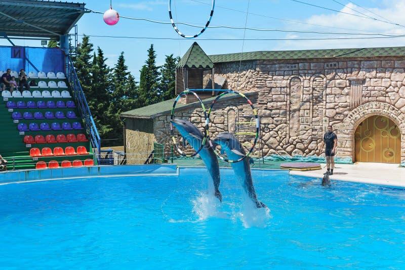 Les dauphins de Bottlenose sont de grands dauphins, ou lat de dauphins de bottlenose Truncatus de Tursiops sautant par le cercle  photographie stock