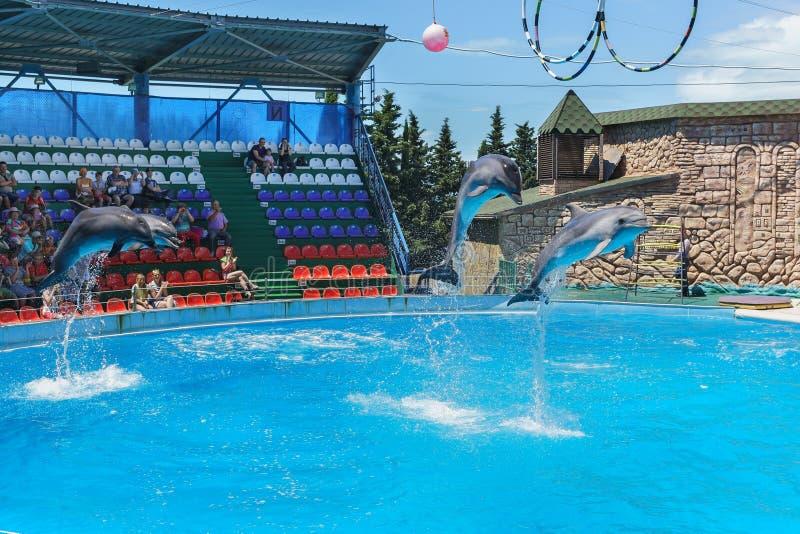 Les dauphins de Bottlenose sont de grands dauphins, ou lat de dauphins de bottlenose Truncatus de Tursiops sur la représentation  photographie stock
