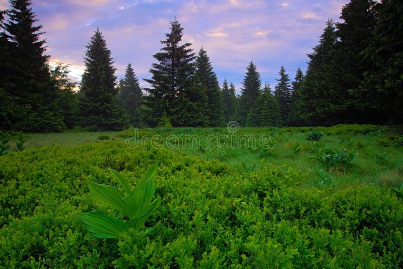 Les de Dvorsky, montaña de Krkonose, prado florecido en la primavera, Forest Hills, mañana brumosa con niebla y rosado y violeta  fotos de archivo libres de regalías