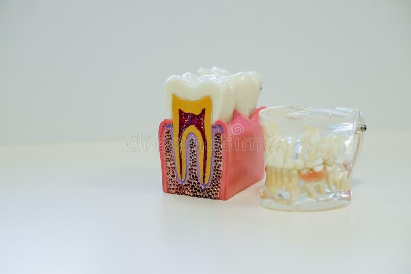 Les dents blanches modèle et dent modèlent sans carie sur le fond blanc Concept de soins dentaires photo libre de droits