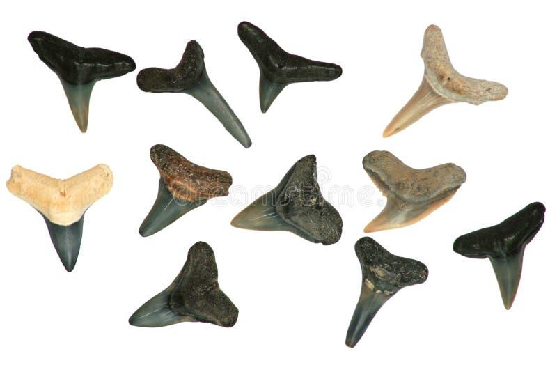 Les dents du requin fossile. photographie stock libre de droits