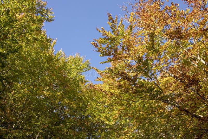Les dessus des arbres dans le feuillage d'or d'automne contre un ciel bleu lumineux image libre de droits