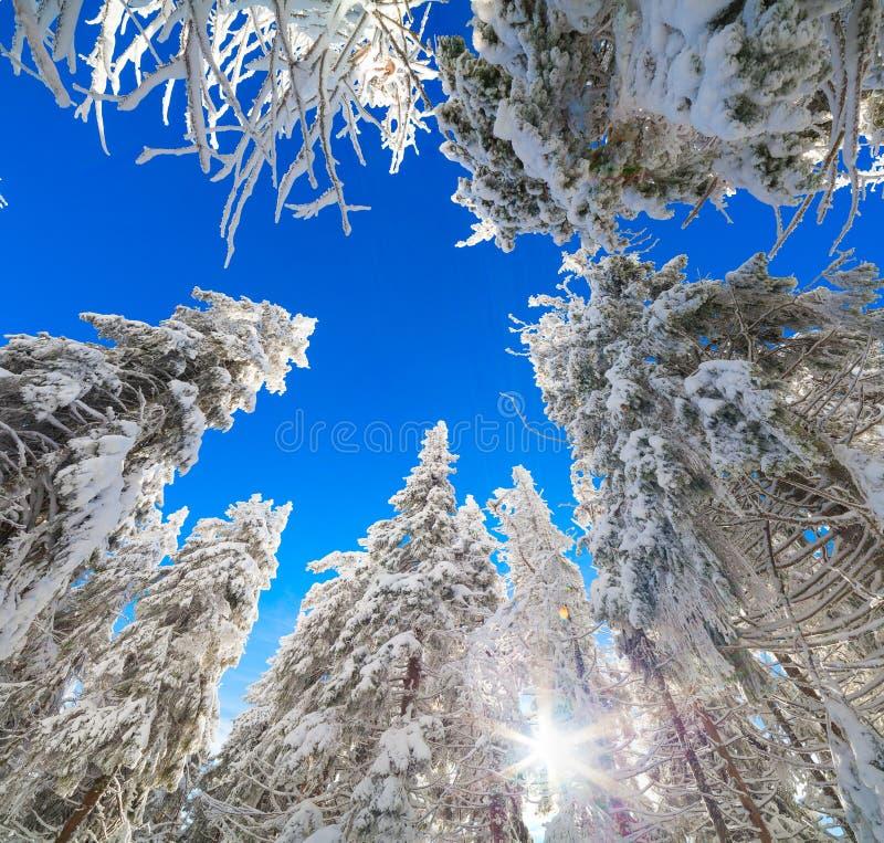 Les dessus des sapins couverts de neige sur le fond du ciel bleu image stock