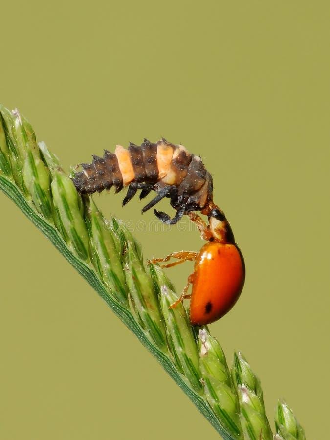 Les deux insectes joignent sur l'usine photos libres de droits