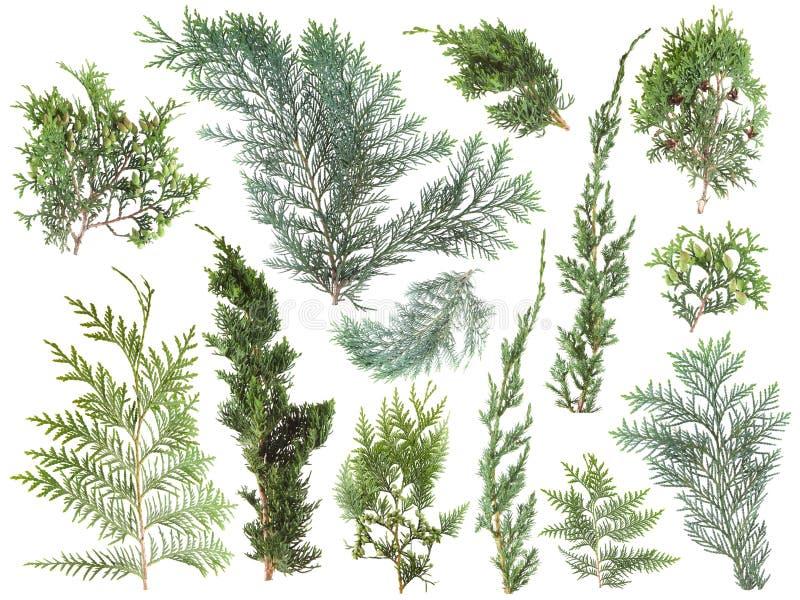 Les différents genres de vert frais ont isolé les feuilles de conifère, branches de sapin sur le blanc photographie stock