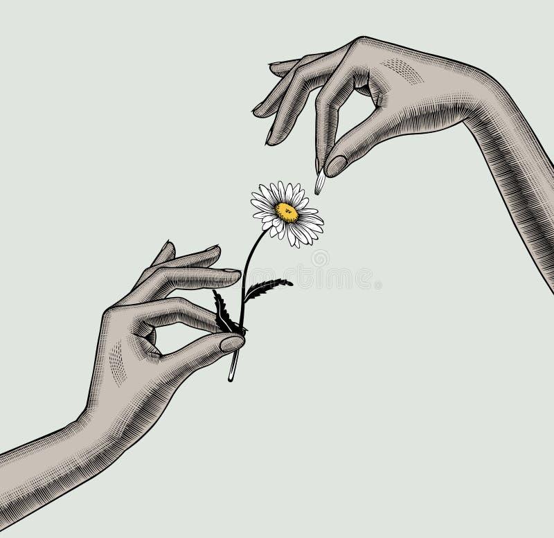 Les doigts de mains de femme arrachent des pétales de fleur de camomille illustration de vecteur