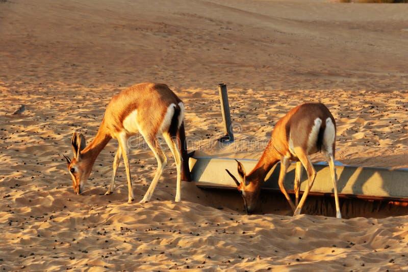 Les dorcas de Gazella de gazelle de Dorcas habite la réservation de désert de nature près de Dubaï, EAU image libre de droits