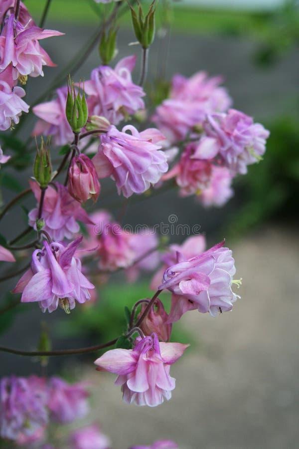 Les doubles fleurs et cosses colombines de graine balancent dans un jardin en retard de ressort photos stock
