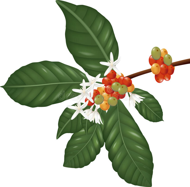 Les espèces de Coffe s'embranchent avec les baies et la fleur de café illustration de vecteur