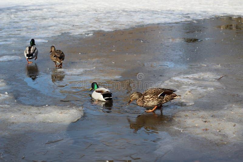Les familles des canards sauvages marchent sur la glace mince en parc une journée de printemps photos stock