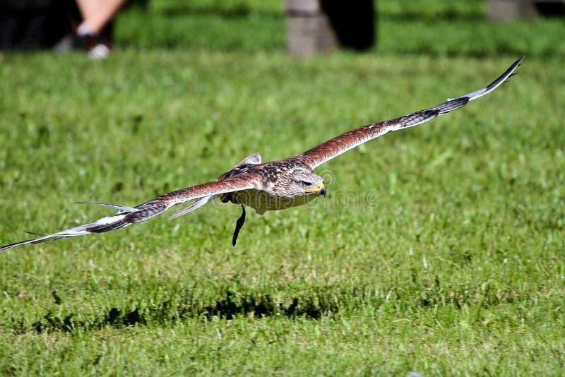 les faucons Rouge-coupés la queue sont de grands faucons avec des proportions typiques de Buteo photo stock