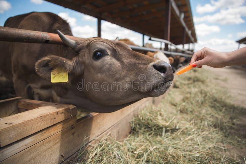 Les femmes alimente une vache à une ferme image libre de droits