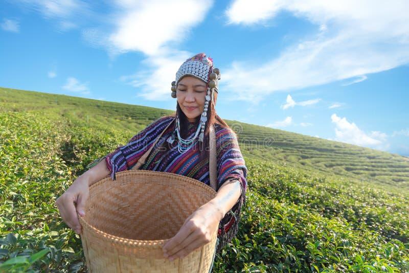 Les femmes d'agriculteur de travailleur de l'Asie sélectionnaient des feuilles de thé pour des traditions pendant le matin de lev photo stock