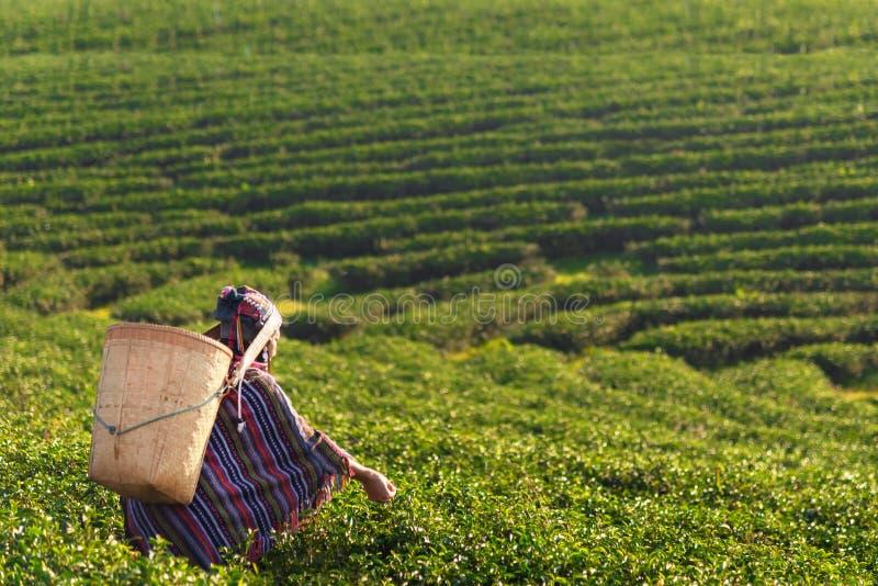 Les femmes d'agriculteur de travailleur de l'Asie s?lectionnaient des feuilles de th? pour des traditions pendant le matin de lev images stock