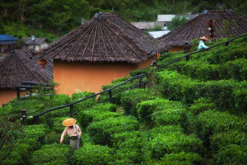 Les femmes d'agriculteur sélectionnaient des feuilles de thé pour des traditions à la nature de plantation de thé, le thailandais photos libres de droits