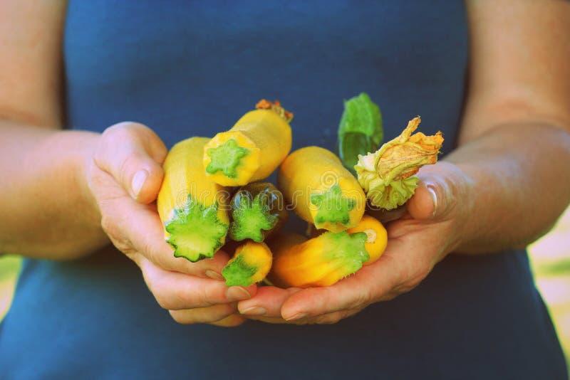 Les femmes d'agriculteur tiennent les courgettes organiques fraîches dans des mains Concept végétal de récolte image stock