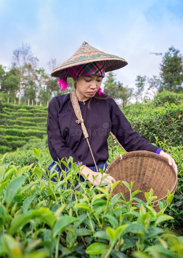 Les femmes de l'Asie sélectionnaient des feuilles de thé à une plantation de thé photographie stock