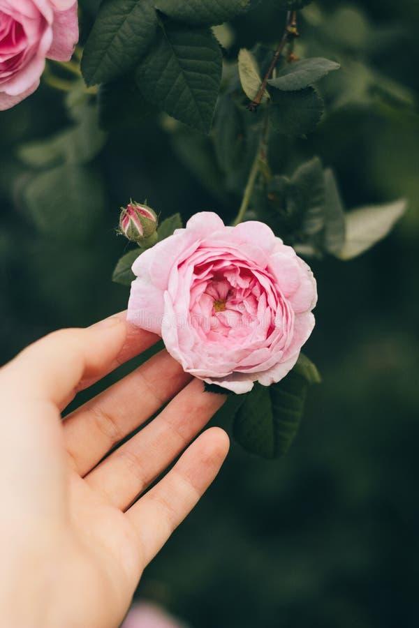 Les femmes remettent touchent à la rose rose de floraison sur le fond des feuilles vertes Foyer mou, traitement d'auteur images stock