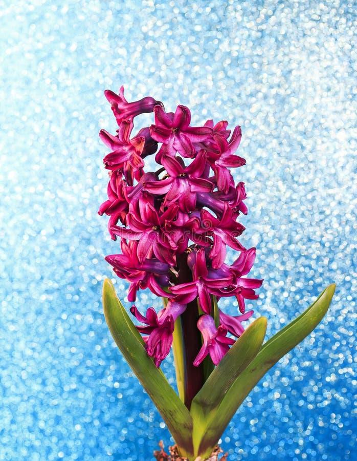 Les festivités verticales de ressort dentellent la fleur de jacinthe sur le bleu d'or images libres de droits