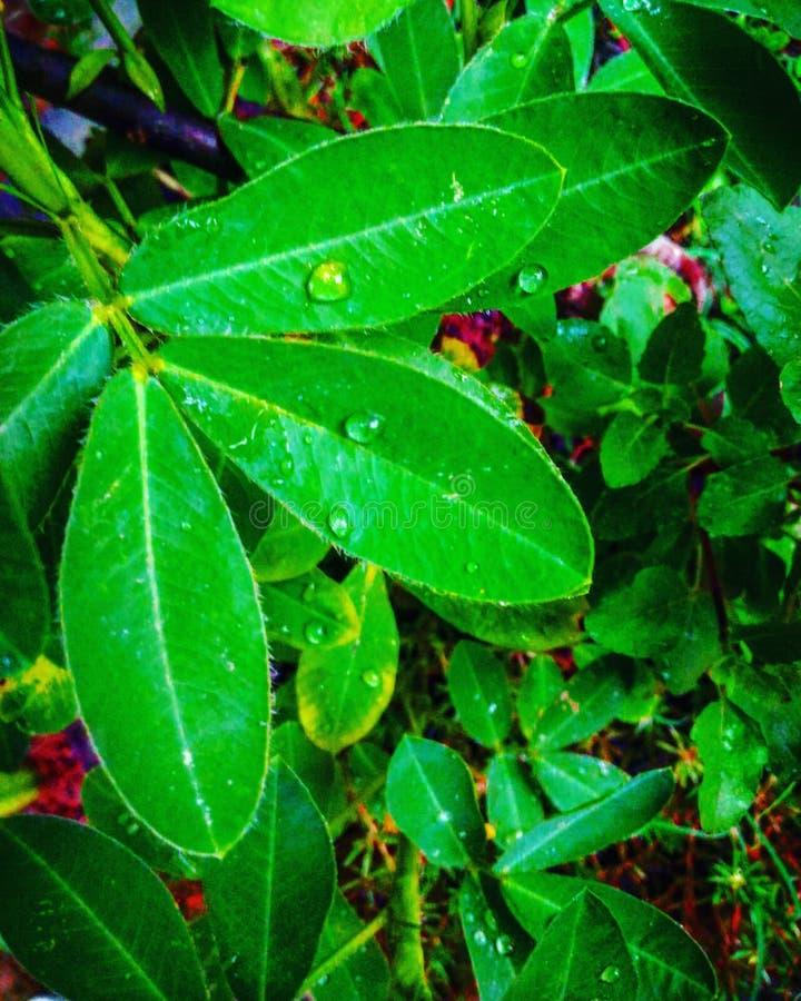 Les feuilles confirment des gouttelettes image stock
