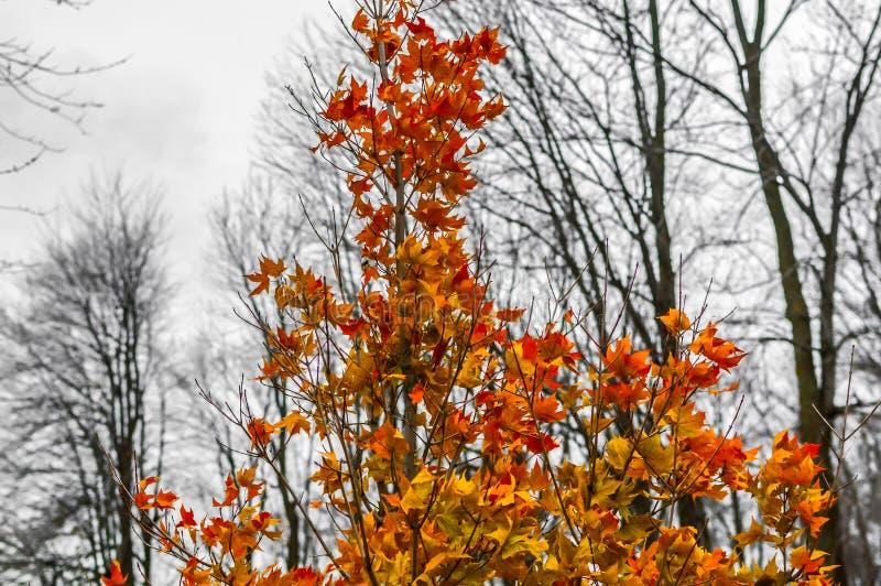 Les feuilles congelées d'érable rouge se ferment derrière la forêt photo stock