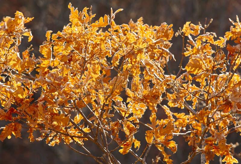 Les feuilles d'automne éclairent à contre-jour à un arrière-plan de nature de forêt Tonne chaude image stock