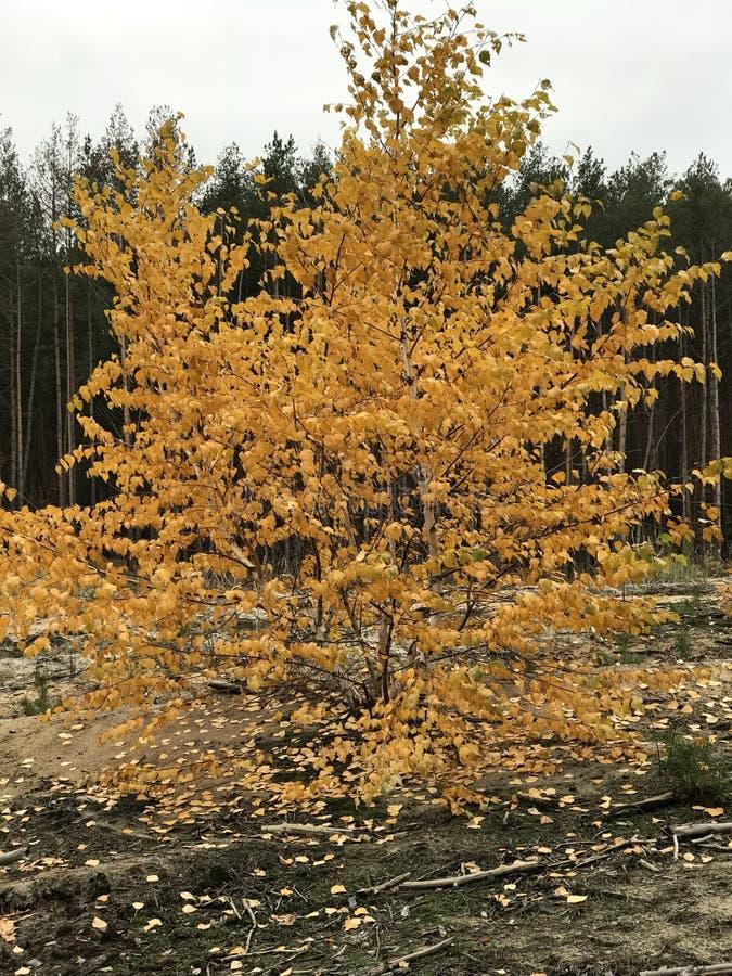 Les feuilles d'or de chute contrastent les pins grands en NATURE de l'Ukraine image libre de droits