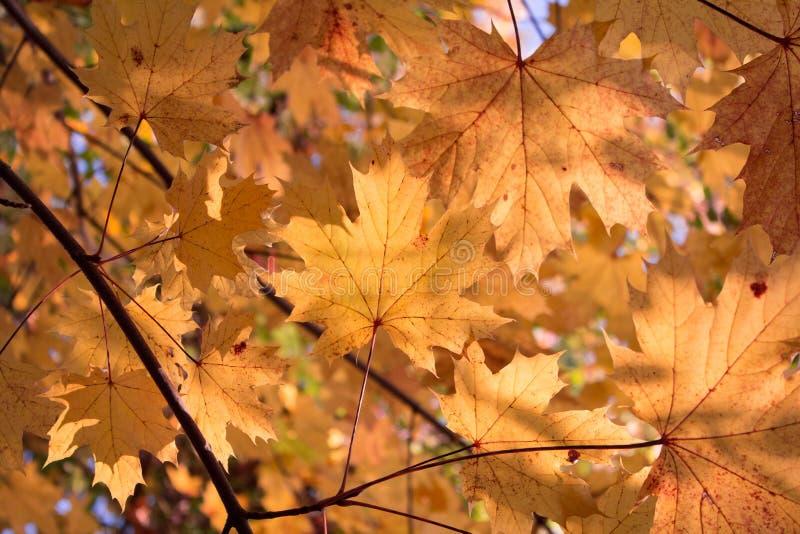 Les feuilles d'or - fond d'automne - rouge part image stock