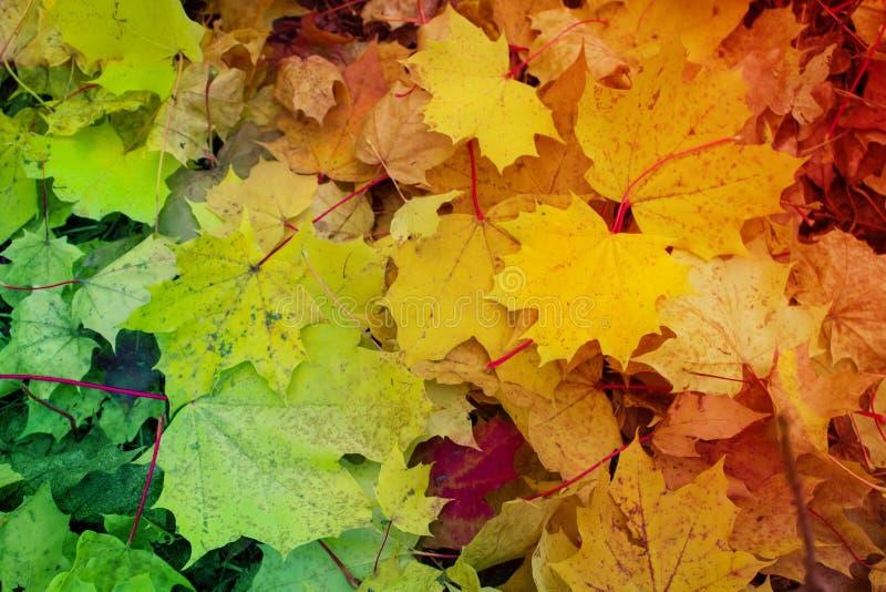 Les feuilles d'or - fond d'automne - rouge part image libre de droits