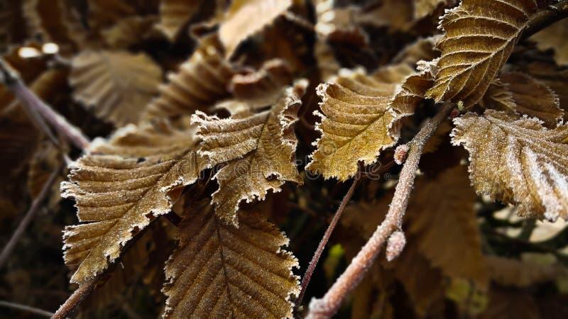 Les feuilles d'or ont couvert de Frost le jour froid d'hiver Macro dramatique de branche gelée avec des feuilles dans l'ombre image libre de droits