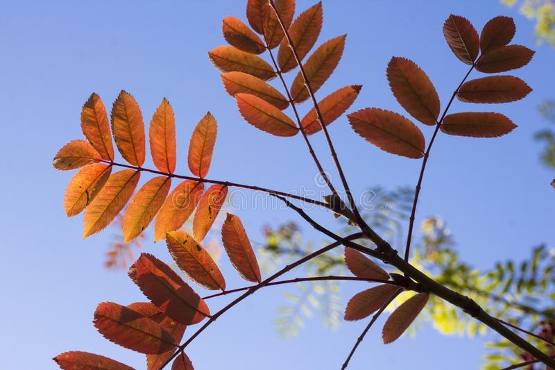 Les feuilles d'un arbre de cendre un jour d'automne images stock