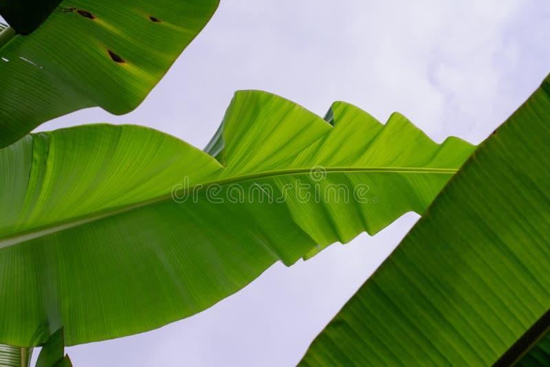 Les feuilles de banane ont coupé au ciel photos libres de droits