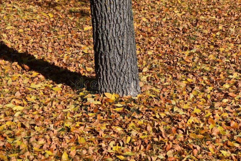 Les feuilles de cendre entourent un arbre pendant l'automne photo stock