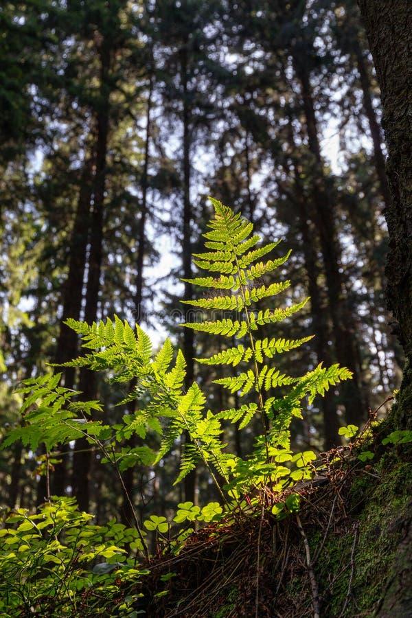 Les feuilles de fougère se sont allumées par lumière du soleil au lever de soleil dans une vue inférieure de forêt foncée Fond de photo libre de droits