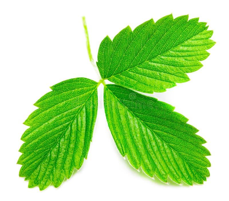 Les feuilles de fraise d'isolement sur le fond blanc, se ferment  photographie stock