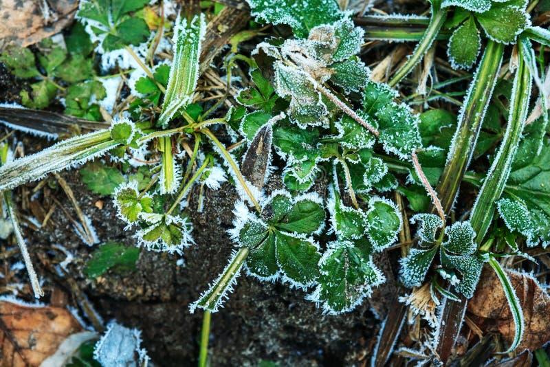 Les feuilles de fraise ont couvert la gelée images stock