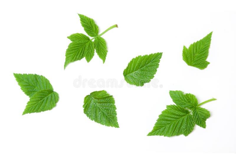 Les feuilles de framboise ont isolé le fond blanc photographie stock libre de droits