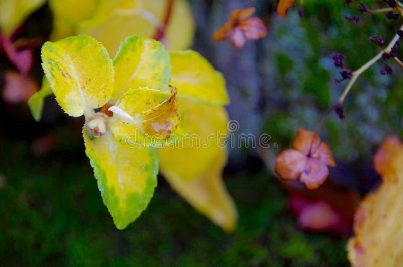 Les feuilles de jaune et les têtes lumineuses de graine diffèrent de la barrière moussue photo stock