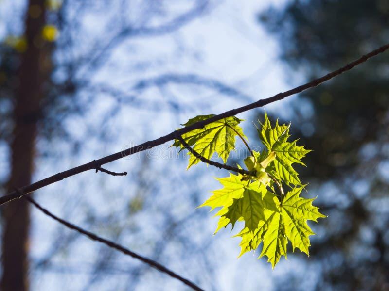 Les feuilles de l'arbre d'érable de Norvège backlited par lumière du soleil, le foyer sélectif, DOF peu profond photo libre de droits