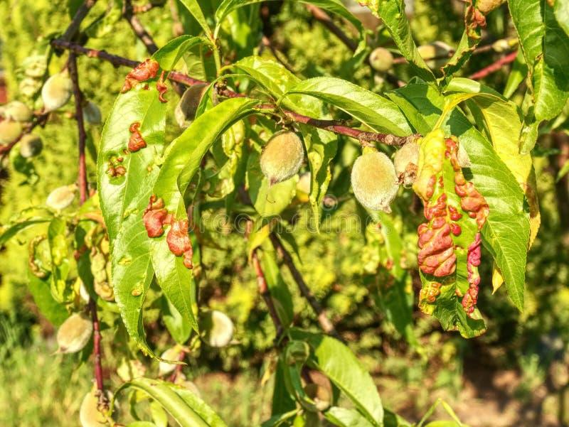Les feuilles de pêche avec la feuille courbent la maladie de deformans de Taphrina photo stock
