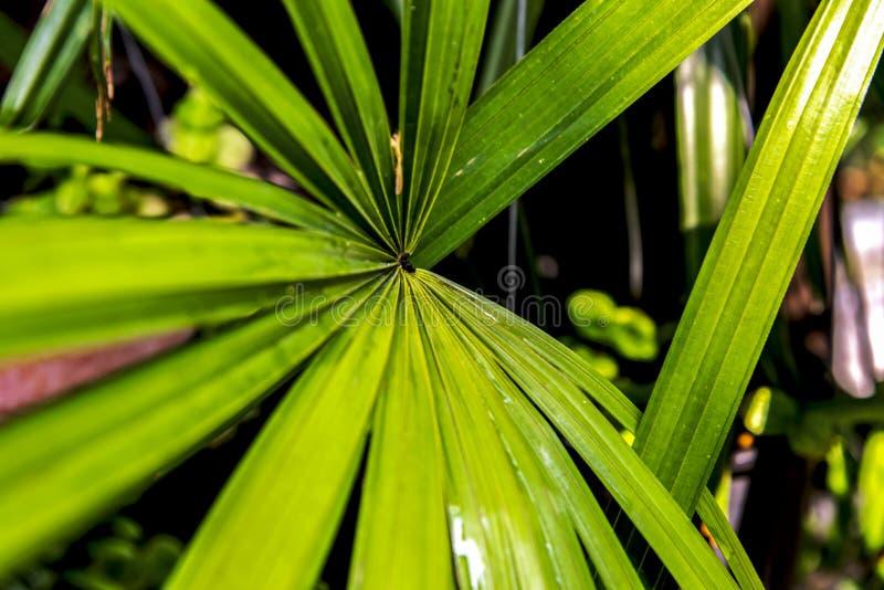 Les feuilles de palmes sont des plantes avec de belles feuilles images stock