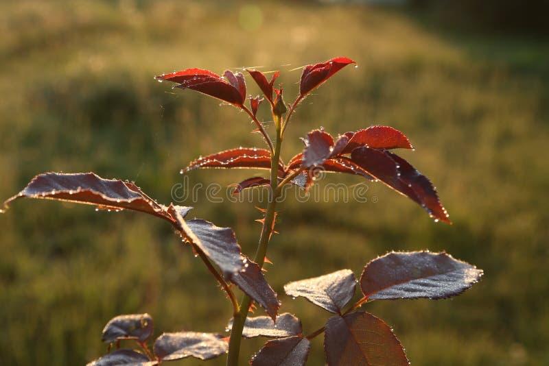 Les feuilles de se sont levées pendant le lever de soleil image stock