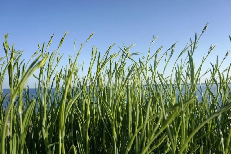 Les feuilles de vert de la jeune lavande non fleurissante bourgeonne sur le fond de vent et de ciel bleu photos stock